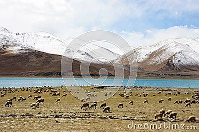 Sheeps on lake and snow mountain