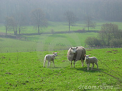 Sheeps in Limburg, Holland