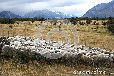 Sheeps, Mt Cook, New Zealand