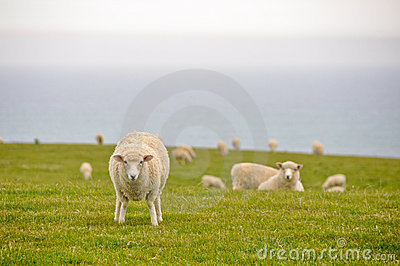 Sheeps near the sea, New Zealand