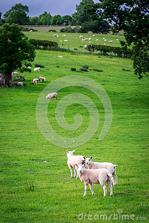Free Sheeps On Green Pasture In District Lake, UK Royalty Free Stock Photo - 90534575