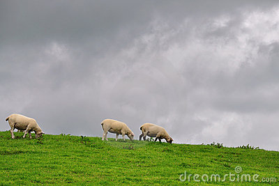 Sheeps in pasture