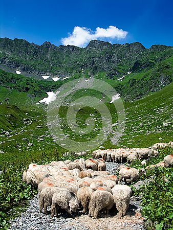 Sheeps on road in mountain