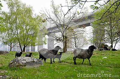 Sheeps in springtime