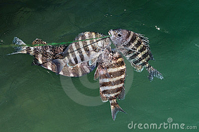 Sheepshead Fish Archosargus Probatocephalus Stock ... Are Saltwater Sheepshead Fish Good To Eat