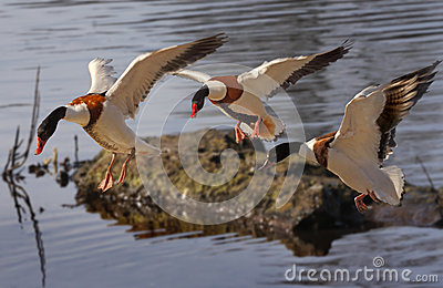 Shelducks Arrive