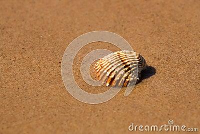 Shell in beach