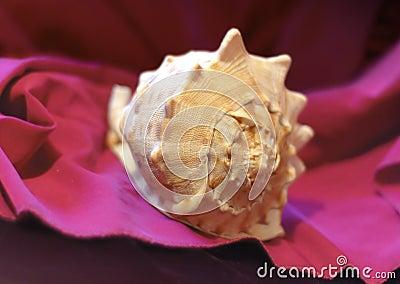 Shell on a drapery 1