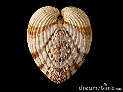 Shell like heart