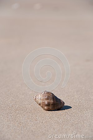 Shell in the sand of the beach