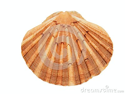 Shell of the scallop (Pecten meridionalis) on white background