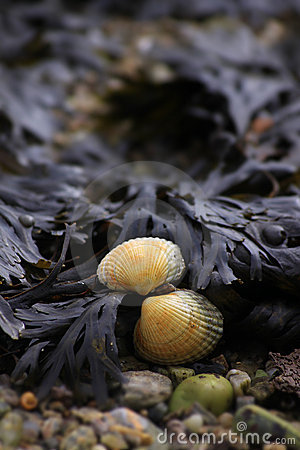 Shell and Seaweed
