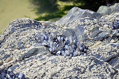 Shells attached to cliff rocks