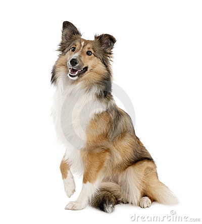Free Sheltie (8 Months Old) Stock Photo - 9052910