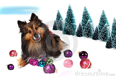 Sheltie Christmas dog in snow