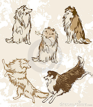 Sheltie and Collie. Breeds of dogs.