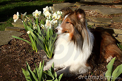 Sheltie and Daffodils