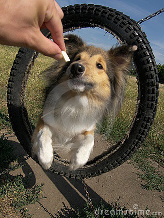 Sheltie dog agility