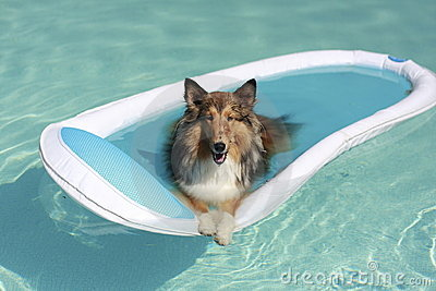 Sheltie Dog in the Pool