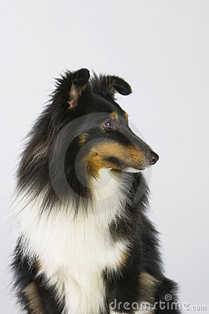 Free Sheltie Profil Royalty Free Stock Images - 15487499