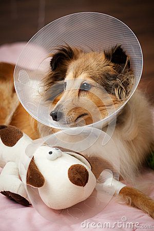 Sheltie recovering from surgery
