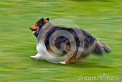 Shetland Sheepdog running on grass