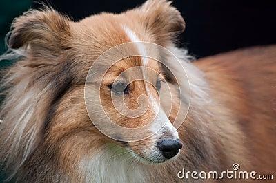 Sheltie - Shetland Sheep Dog