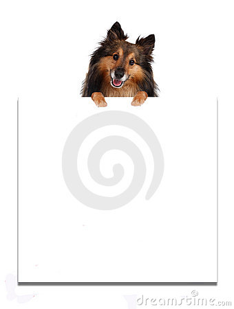 Sheltie on top of advertisement