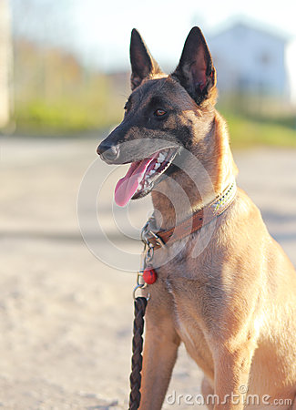 Shepard dog looking outdoors