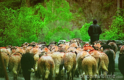 Shepard Leads a Flock of Sheep