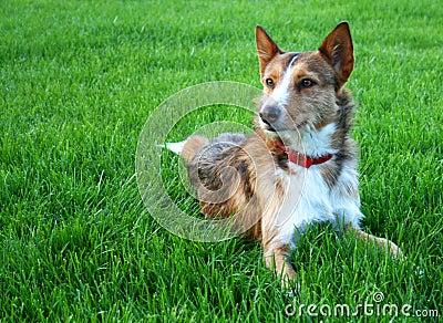 Sheperd dog
