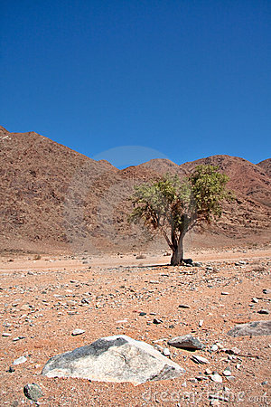 Sheperd s Tree in Richtersveld