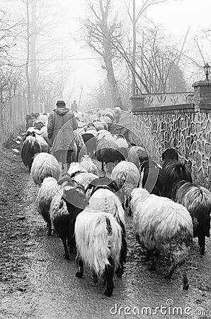Free Shepherd Royalty Free Stock Images - 98680929