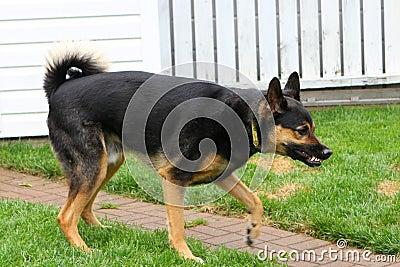 Shepherd Aggressive Stance