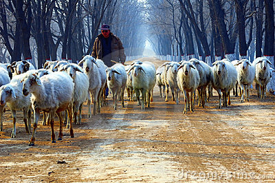 Shepherd on country road