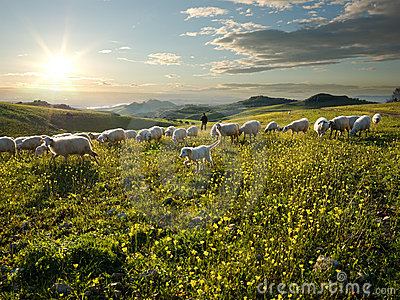 Shepherd with dog and sheep that graze in flowered