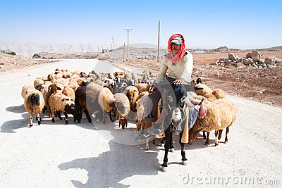 Shepherd on donkey leads his sheep Editorial Photography