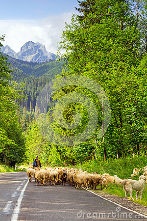 Shepherd with flock of sheep in Tatra mountains Editorial Stock Photo