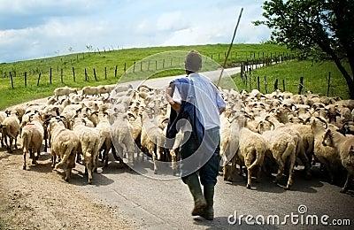 Shepherd with his sheep herd
