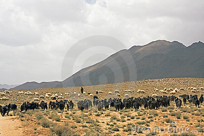Shepherd at Morocco