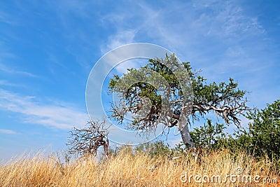 Shepherd s tree