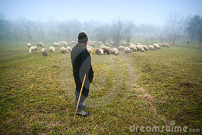 Shepherd watching over sheep Editorial Stock Photo