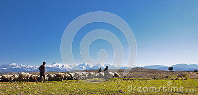 Shepherds with their sheep herd Editorial Stock Image