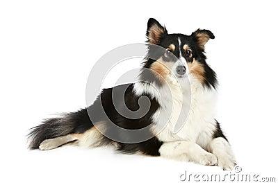 Shetland Collie dog