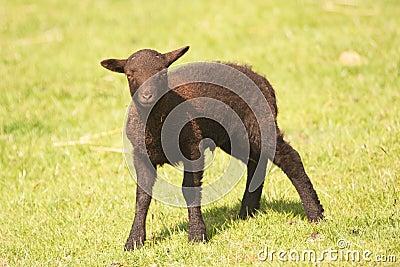 Shetland lamb - dark brown