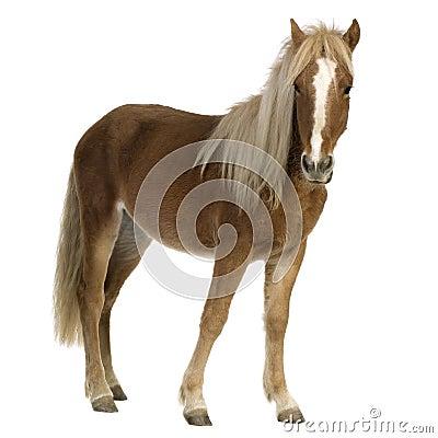 Free Shetland Pony (2 Years) Royalty Free Stock Image - 3369216