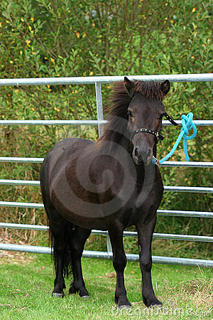 Free Shetland Pony Royalty Free Stock Photos - 296328