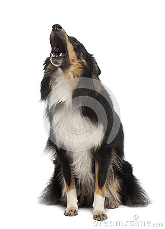 Shetland Sheepdog, 1 year old, barking