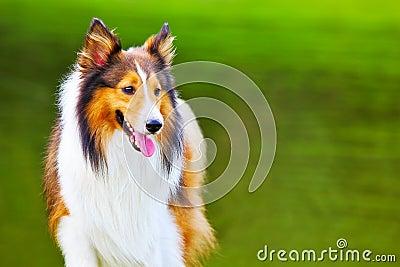 Shetland sheepdog 4