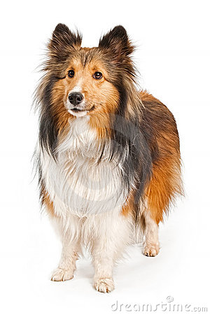 Shetland Sheepdog Dog Isolated on White